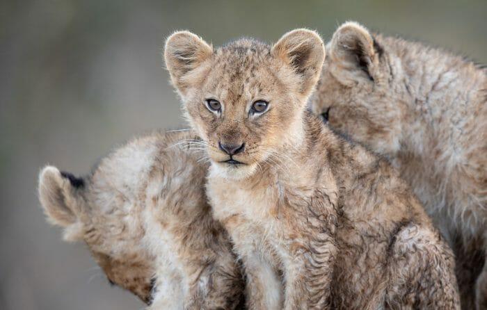 Tsalala Lion Cubs 3