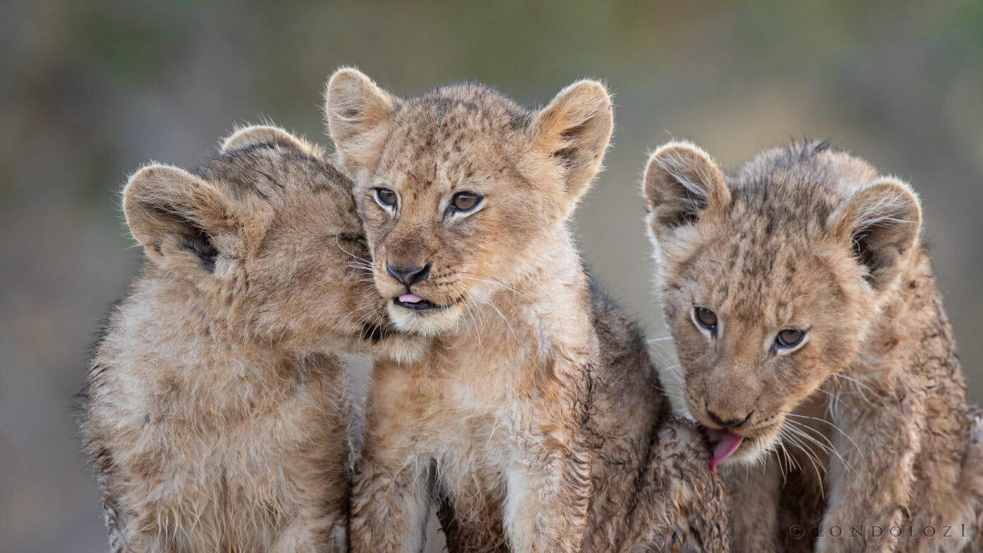 Tsalala Lion Cubs 4