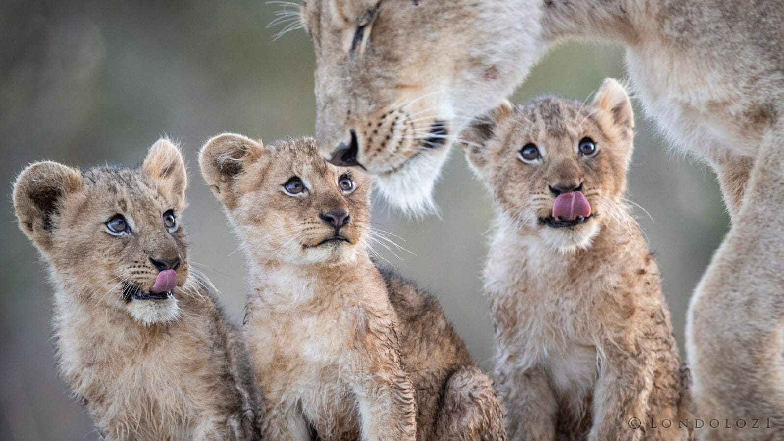 Tsalala Lion Cubs 5