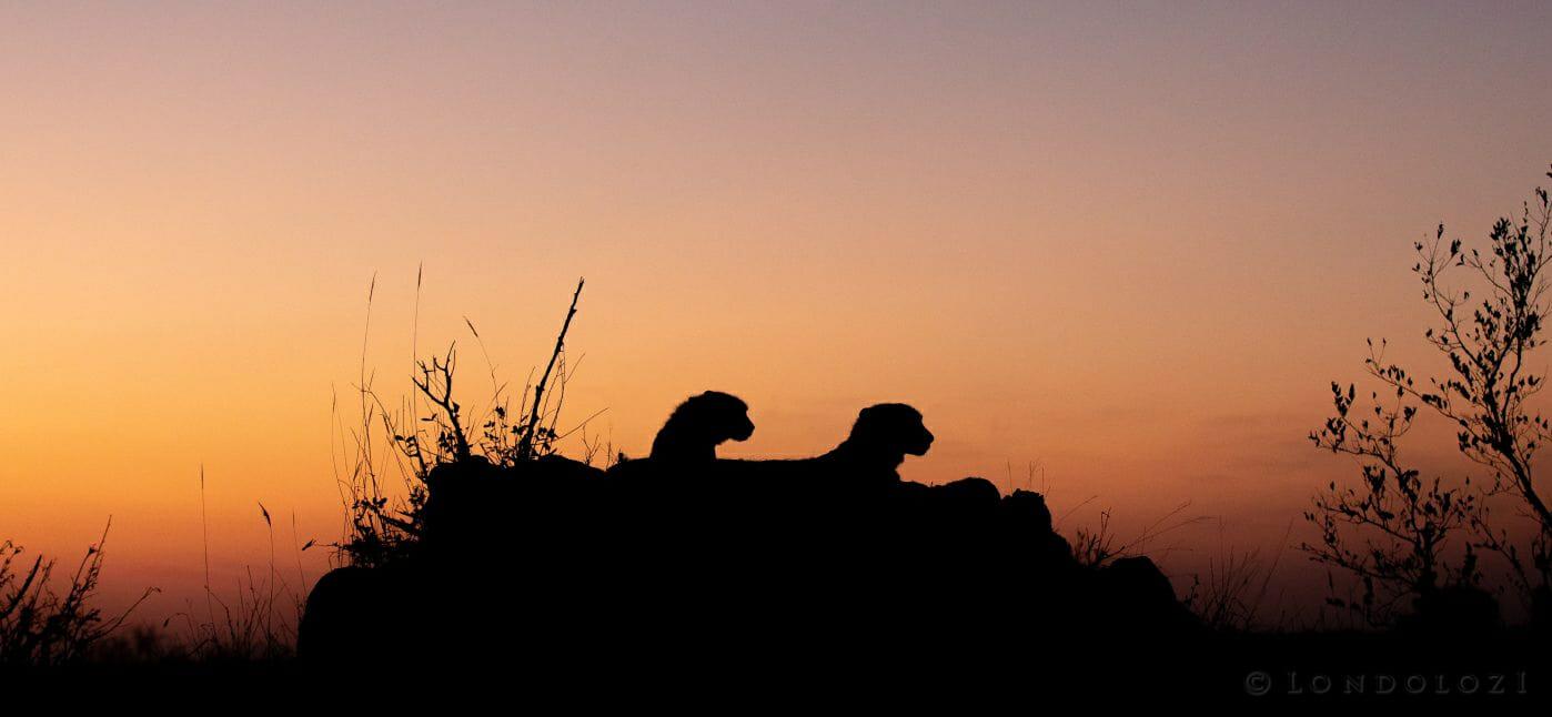 Cheetah Termite Mound Silhouette