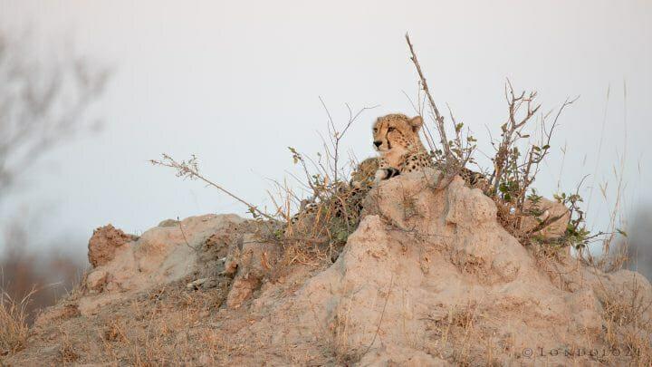 Cheetah Termite Mound 2