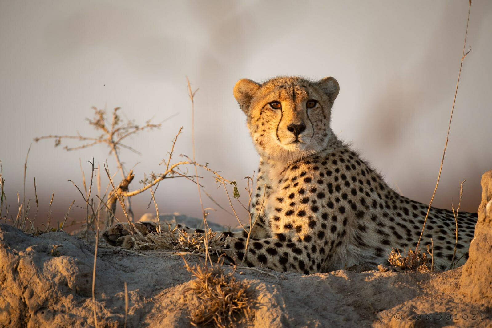 Cheetah Termite Mound