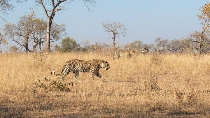 Cheetah Tortoise Pan Leopard