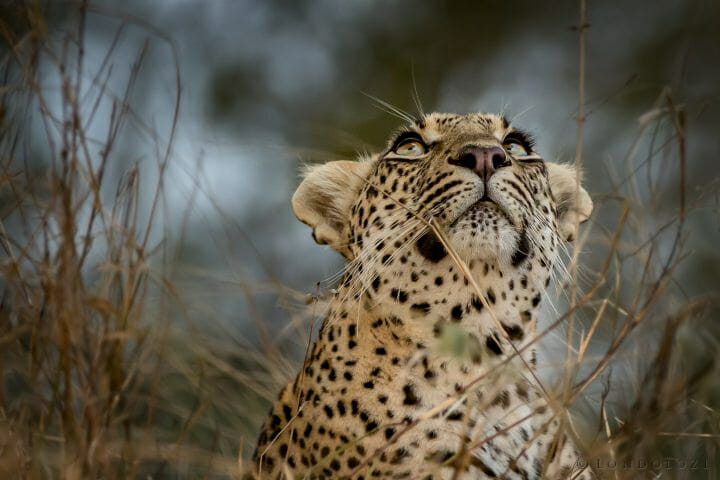 Leopard Watching Bird Terri Klauber