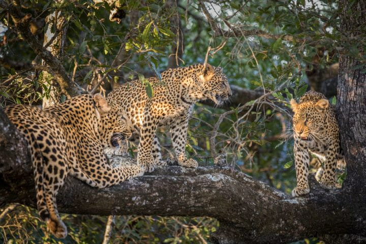 Inyathini Male, Ndzanzeni Female And Her Cub On A Tree Having A