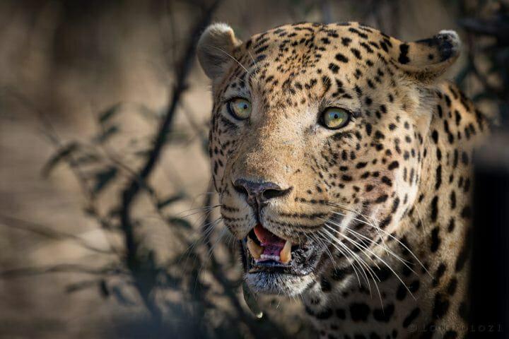 Piva Male Leopard Michael Klauber