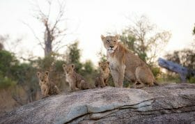 Tsalala Lioness And Cubs Rock