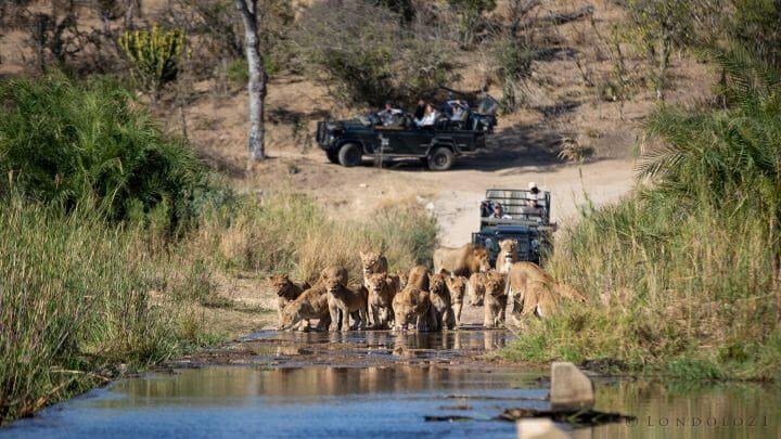 Lion Ntsevu Drink 6