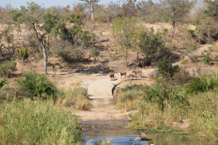 Lion Ntsevu Drink