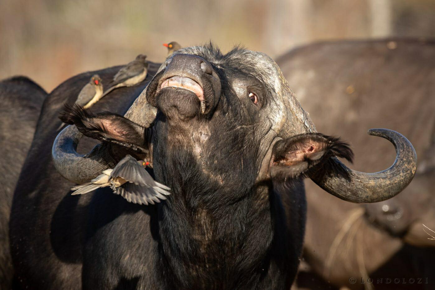 Buffalo Oxpecker