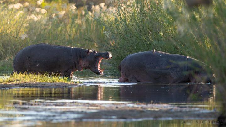 Hippo Sand River