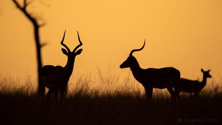Impala Silhouette