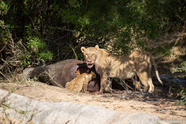 Tsalala Lion Buffalo