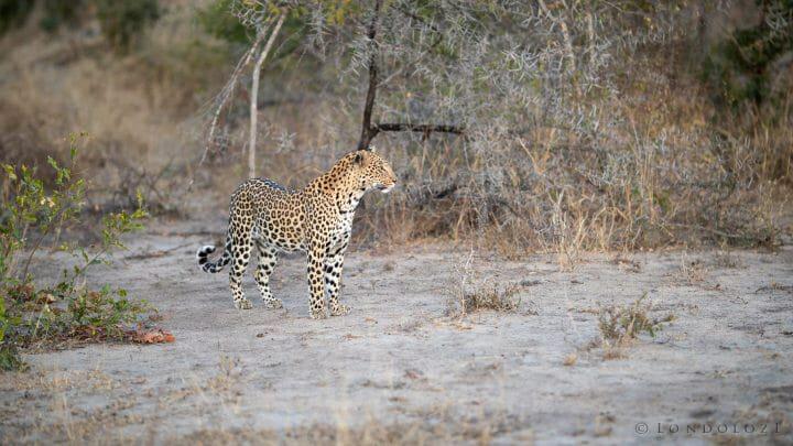 Ximungwe Leopard1
