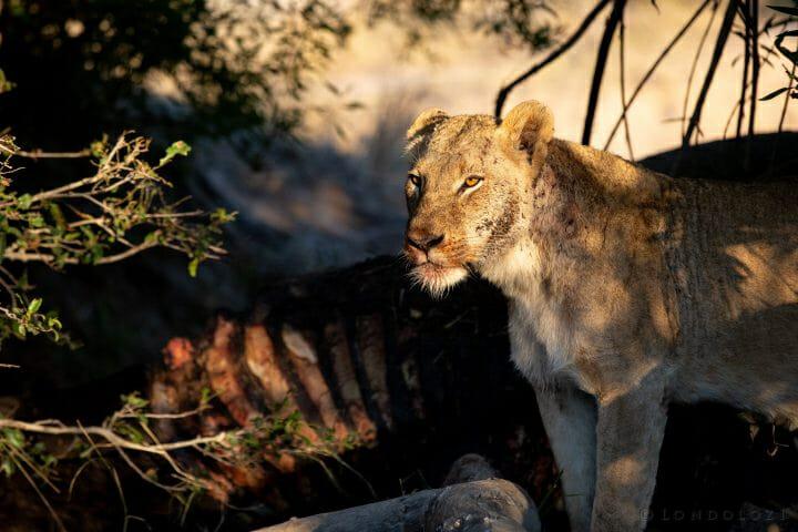 Tsalala Lion Cub Buffalo 2