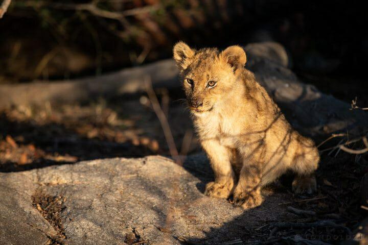 Tsalala Lion Cub Buffalo 3