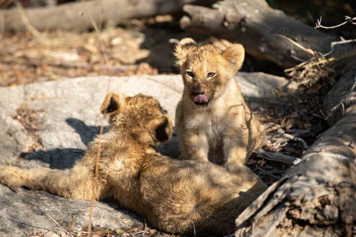 Tsalala Lion Cub Buffalo 4