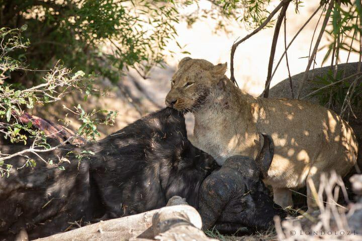Tsalala Lion Cub Buffalo 5
