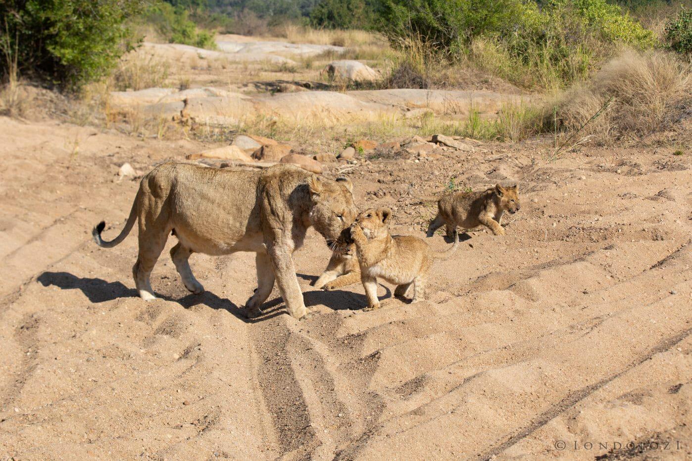 Tsalala Lion Cub Buffalo 8