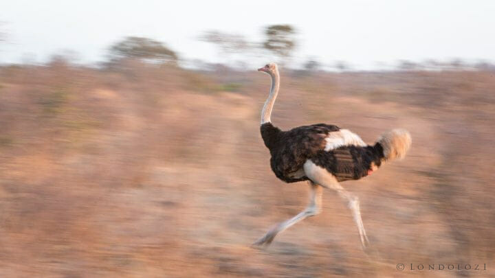 Ostrich Run Motion Blur