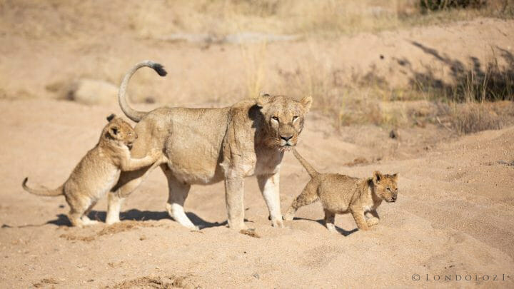 Tsalala Lion Cubs Sand