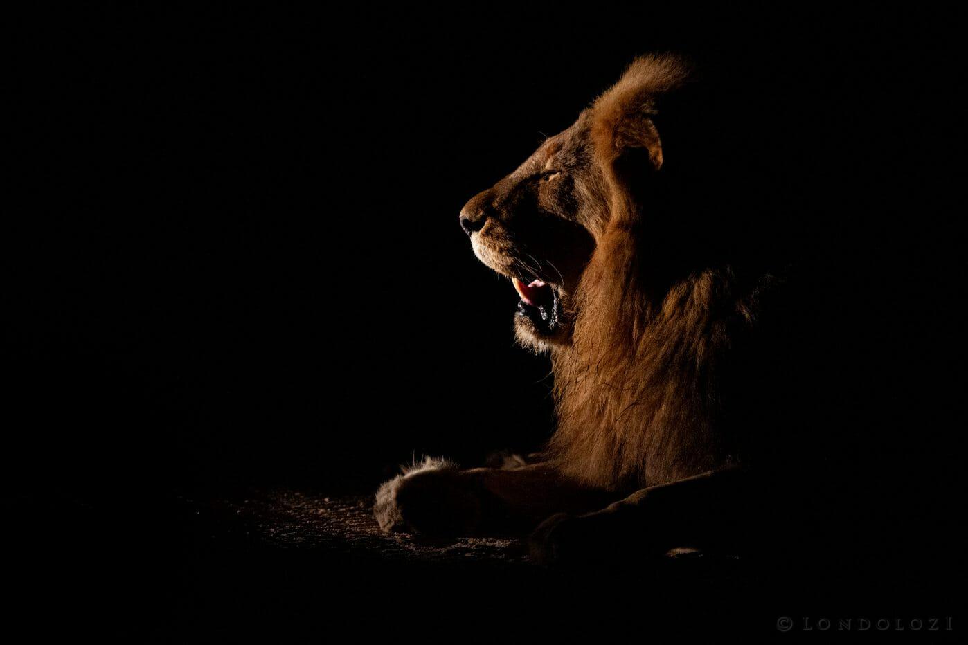Male Lion Sidelit Majingilane