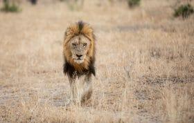Birmingham Male Lion 2
