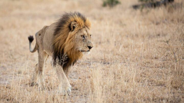 Birmingham Male Lion 3