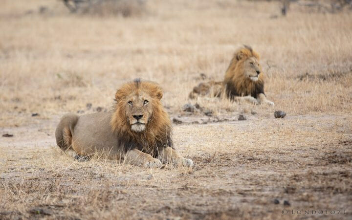 Birmingham Male Lion 5