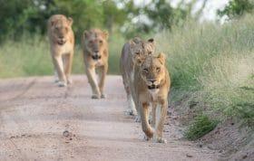 Ntesvu Lion