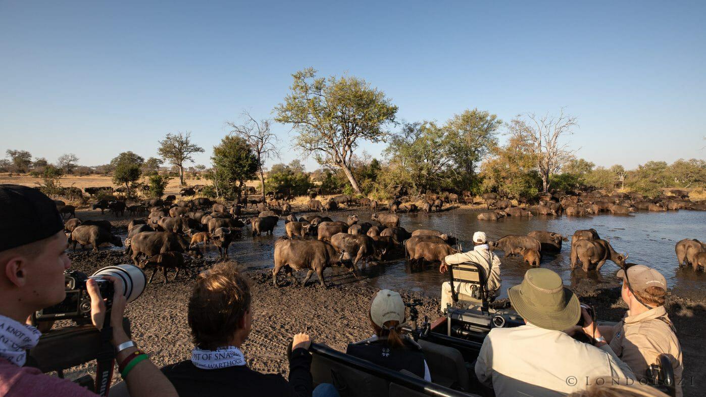 Buffalo Herd Drink Land Rover