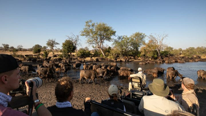 Buffalo Herd Drink Land Rover