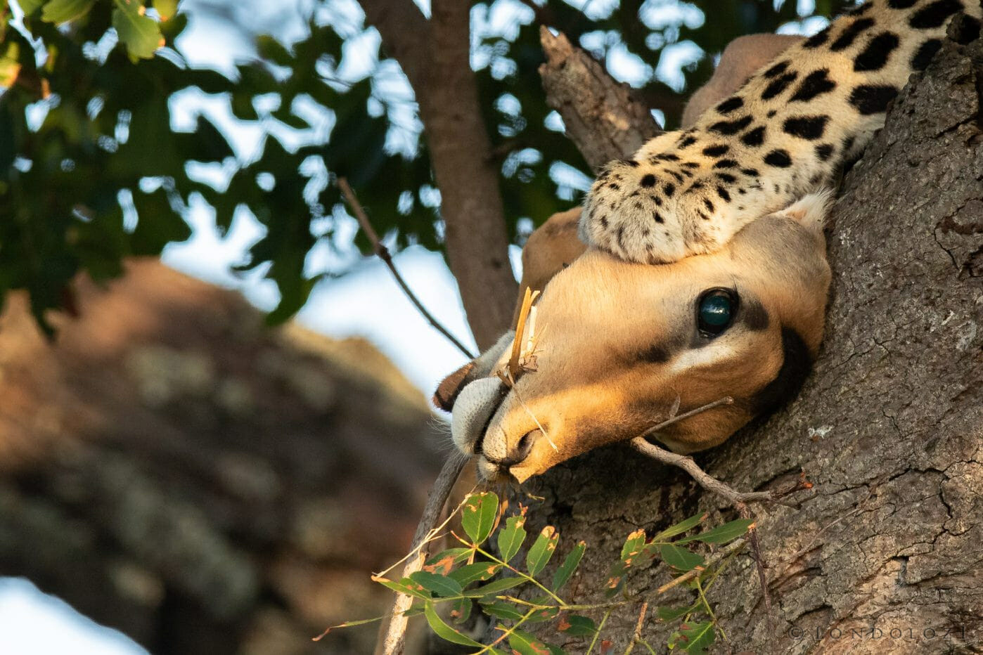 Leoaprd Paw Impala Kill