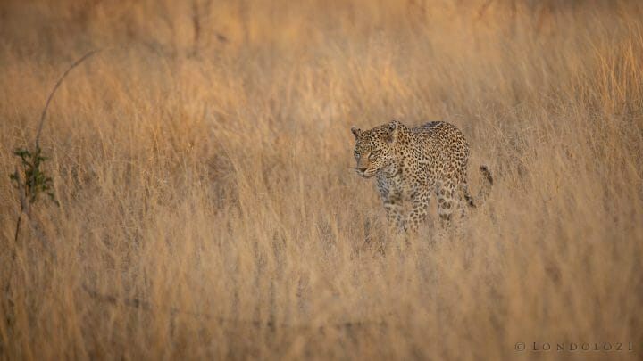 Nkoveni Leopard Grass Gold