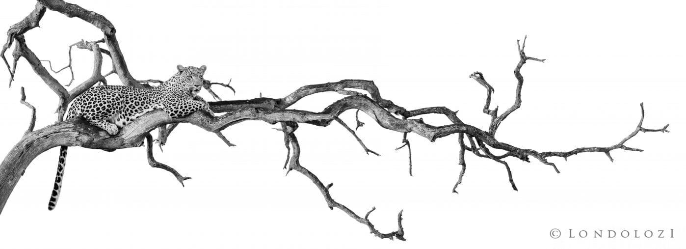 Alex Jordan Leopard In Tree