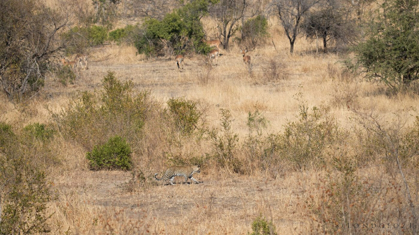 Leopard Impala Nkoveni