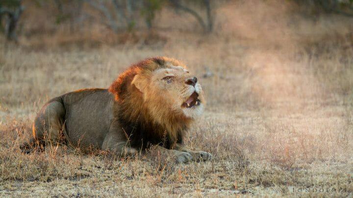 Majingilane Lion Roar