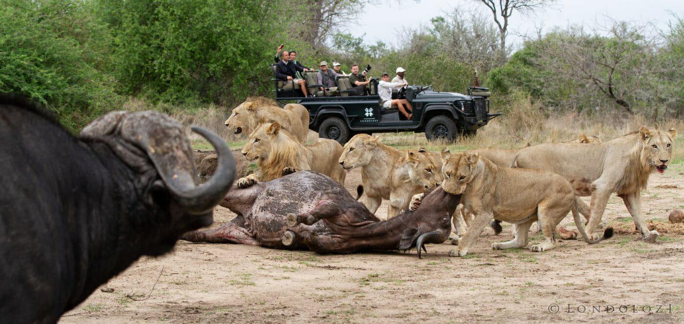 Sparta Lion Buffalo