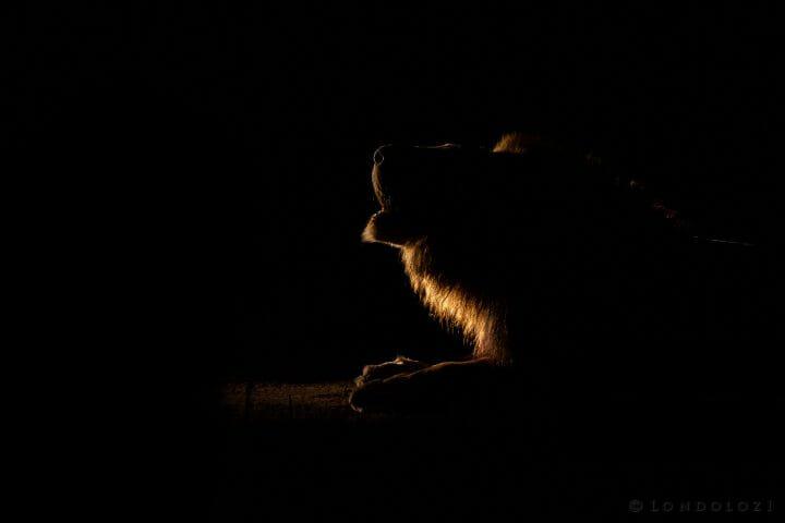 Lion Roar Spotlight