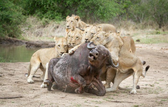 Sparta Lion Buffalo 3