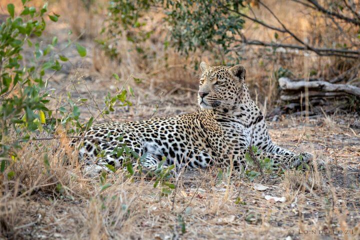 Hosana Leopard