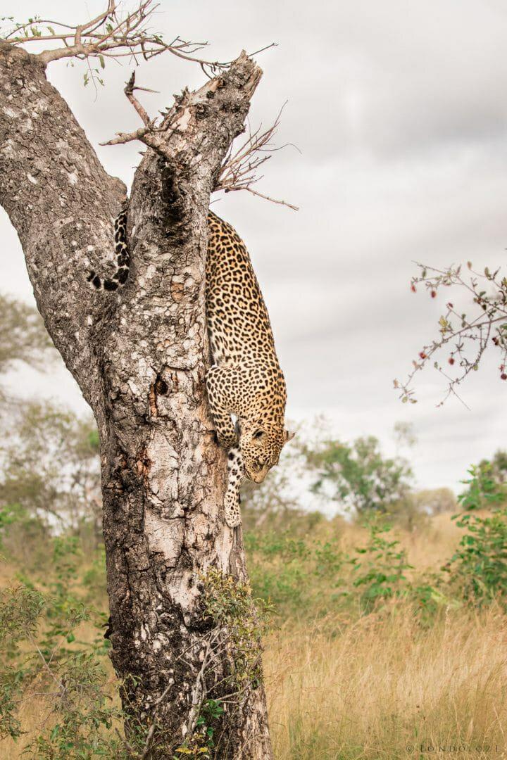Hosana Leopard 21
