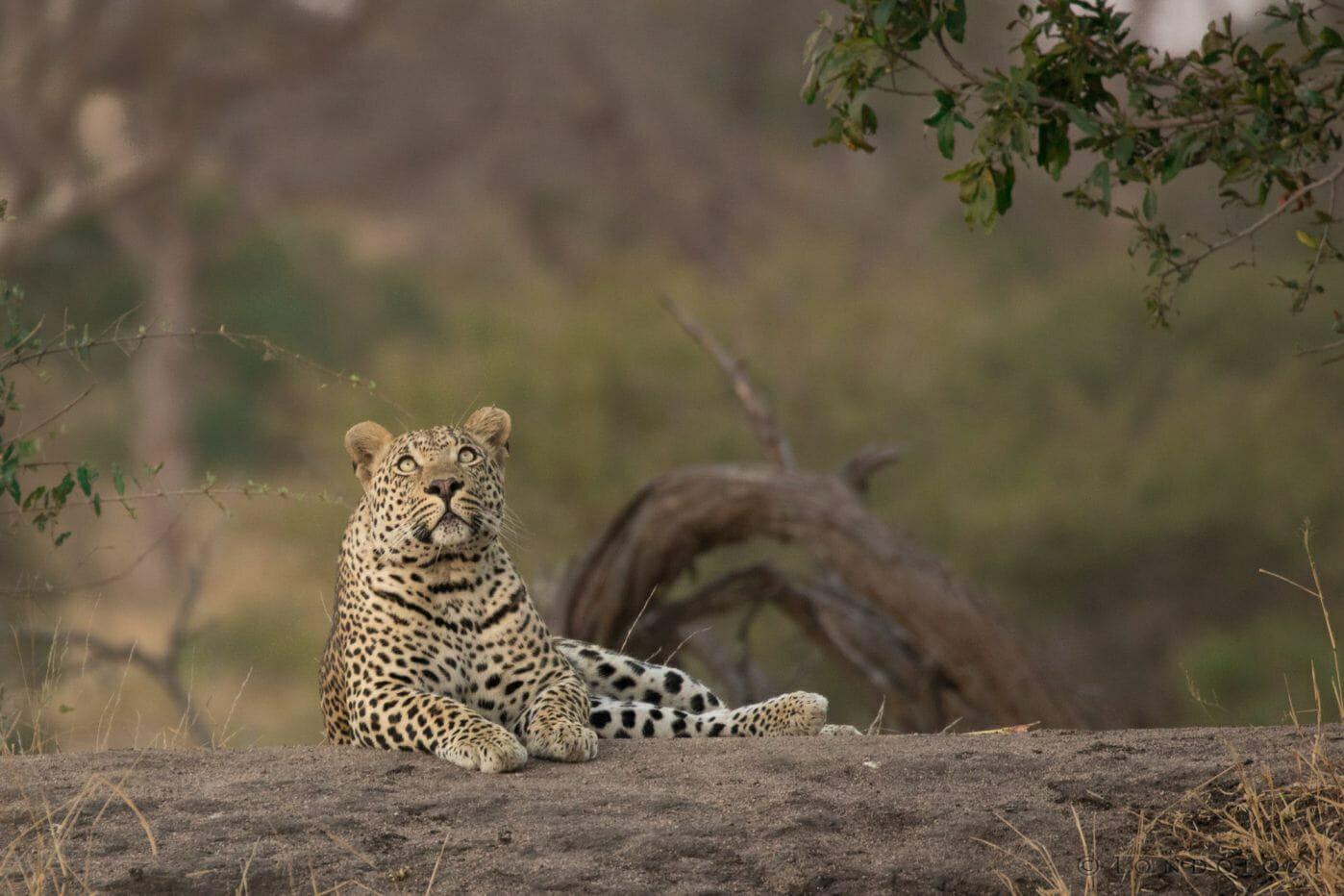 Hosana Leopard 8