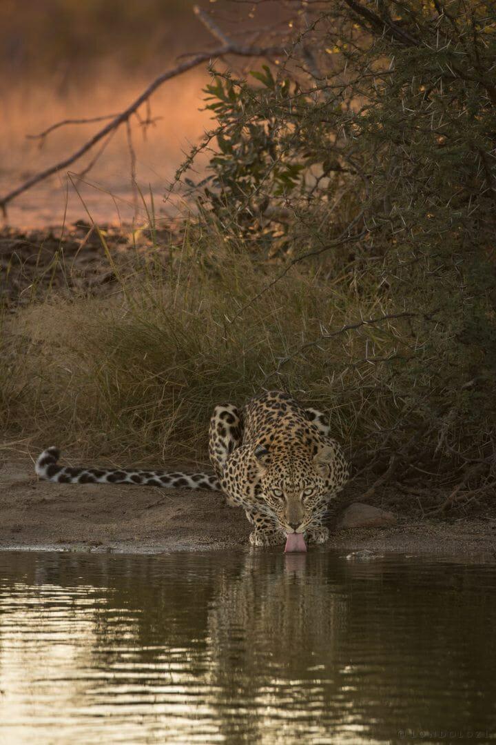 Hosana Leopard 10