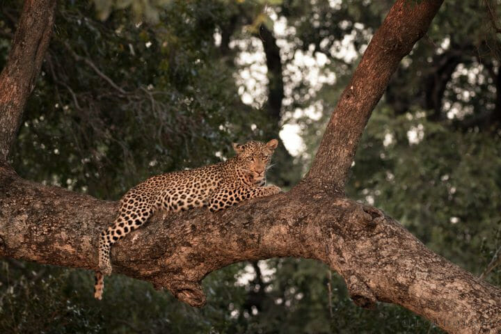 Hosana Leopard 12