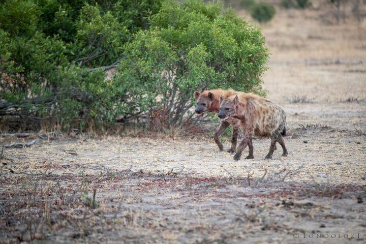 Hyenas 2