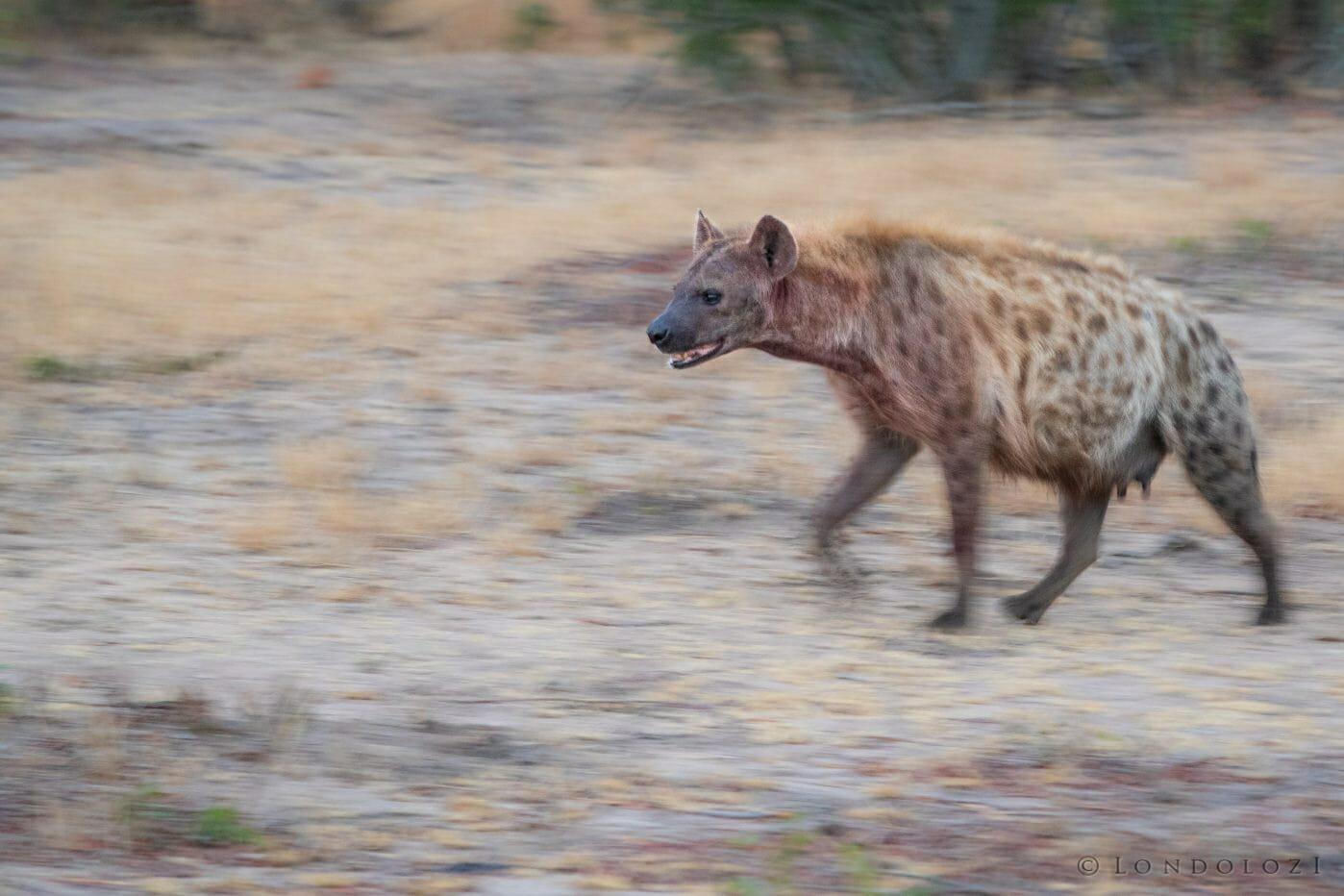 Hyenas 3