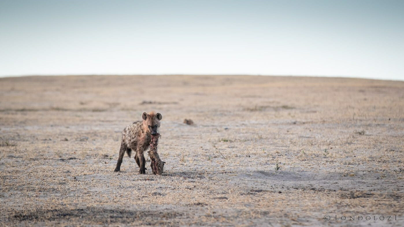Hyenas 5
