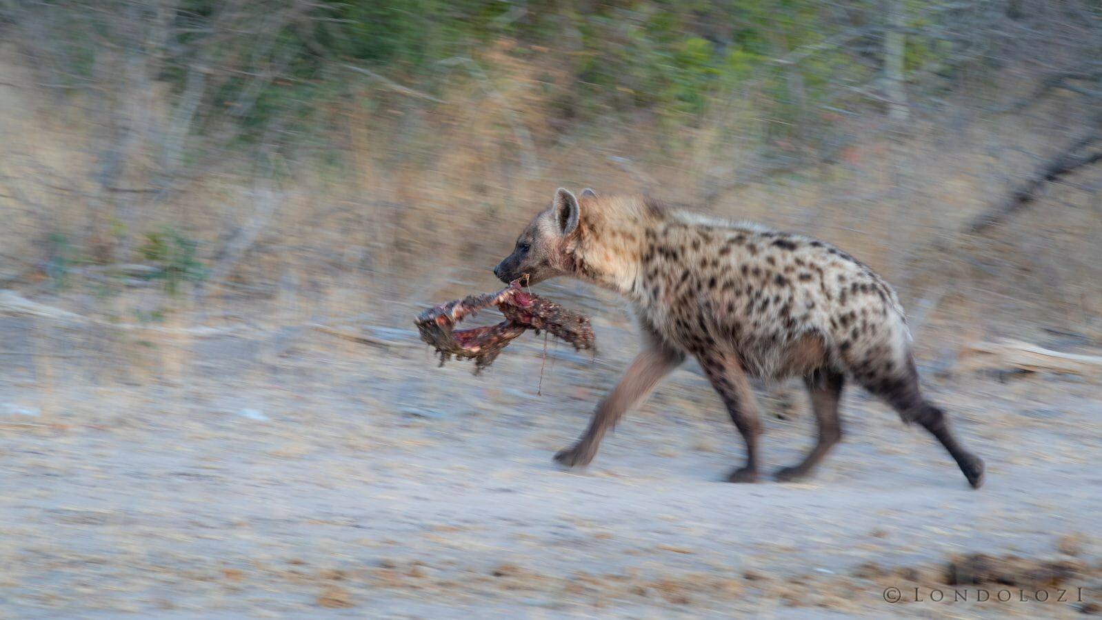 Hyenas 7