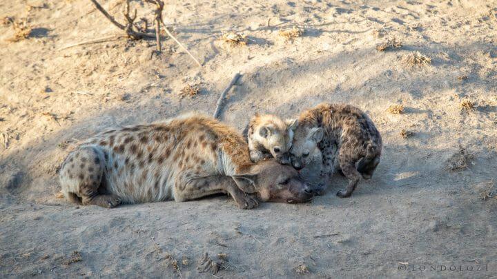 Hyenas 8